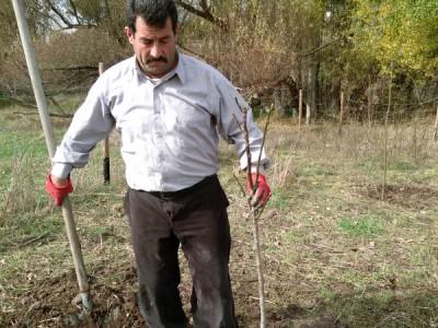 Ankara Çubuk Ömercik Köyü Kaman Cevizi Fidanı Dikimi