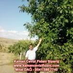 kaman-cevizi-fidani-mitat-dag-541-5807740 (106)