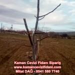 kaman-cevizi-fidani-mitat-dag-541-5807740 (11)