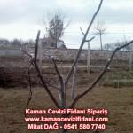 kaman-cevizi-fidani-mitat-dag-541-5807740 (13)