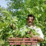 kaman-cevizi-fidani-mitat-dag-541-5807740 (17)