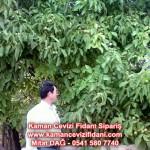 kaman-cevizi-fidani-mitat-dag-541-5807740 (25)