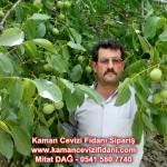 kaman-cevizi-fidani-mitat-dag-541-5807740 (31)