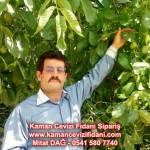 kaman-cevizi-fidani-mitat-dag-541-5807740 (55)