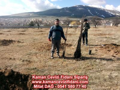 Konya Yunak'daki Kaman Cevizi Fidanı Dikimimiz