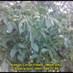 kaman-cevizi-fidani-yeni-mahsul-yerli-ceviz-chandler-fernor-fidan (11)