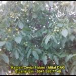 kaman-cevizi-fidani-yeni-mahsul-yerli-ceviz-chandler-fernor-fidan (12)