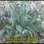kaman-cevizi-fidani-yeni-mahsul-yerli-ceviz-chandler-fernor-fidan (13)