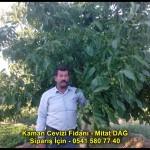 kaman-cevizi-fidani-yeni-mahsul-yerli-ceviz-chandler-fernor-fidan (15)