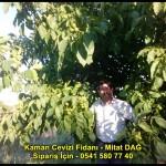 kaman-cevizi-fidani-yeni-mahsul-yerli-ceviz-chandler-fernor-fidan (17)