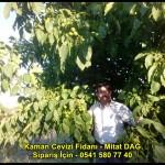 kaman-cevizi-fidani-yeni-mahsul-yerli-ceviz-chandler-fernor-fidan (18)