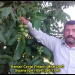 kaman-cevizi-fidani-yeni-mahsul-yerli-ceviz-chandler-fernor-fidan (2)