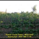 kaman-cevizi-fidani-yeni-mahsul-yerli-ceviz-chandler-fernor-fidan (23)