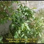 kaman-cevizi-fidani-yeni-mahsul-yerli-ceviz-chandler-fernor-fidan (29)