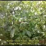 kaman-cevizi-fidani-yeni-mahsul-yerli-ceviz-chandler-fernor-fidan (34)
