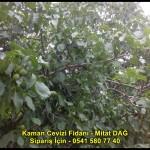 kaman-cevizi-fidani-yeni-mahsul-yerli-ceviz-chandler-fernor-fidan (36)