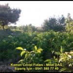 kaman-cevizi-fidani-yeni-mahsul-yerli-ceviz-chandler-fernor-fidan (4)