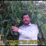 kaman-cevizi-fidani-yeni-mahsul-yerli-ceviz-chandler-fernor-fidan (8)