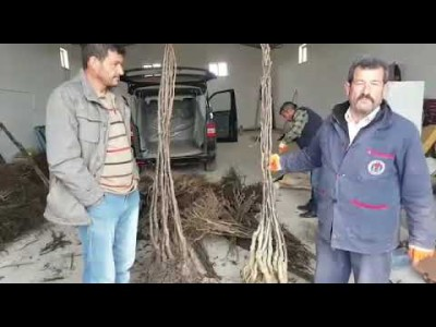 Konya Kulu Zincirlikuyu Köyü Kaman Cevizi Fidanı Dikimi