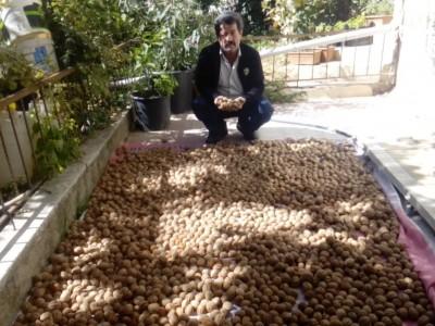 Ankara Kalecik Akbürk Mahallesi Kaman Cevizi Fidanı Budama
